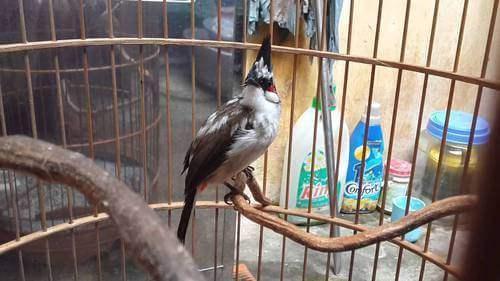 Chim Chào Mào Bông sống ở đâu