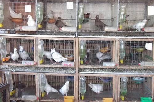 bệnh thường gặp ở chim bồ câu pháp