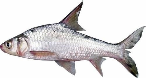 cá duồng