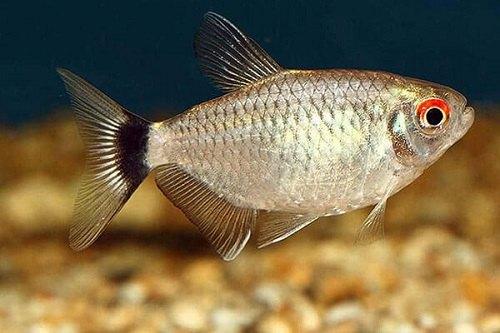 Cá Ngân Bình