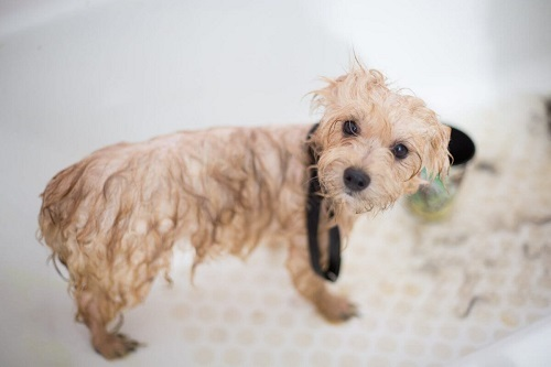 cách tắm cho cún thơm lâu