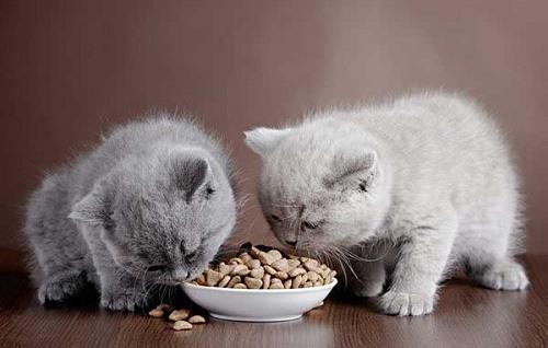 Chế độ ăn của mèo không phù hợp
