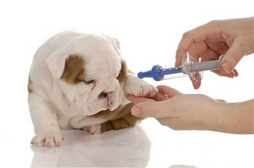 tiêm thuốc triệt sản chó cái
