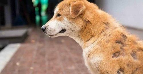 Chó bị ghẻ Cheyletiella
