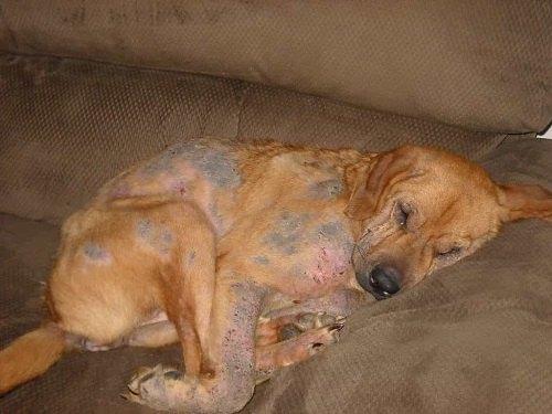 bệnh ghẻ ngứa ở chó