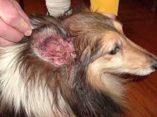 Chó bị viêm da không nên ăn gì