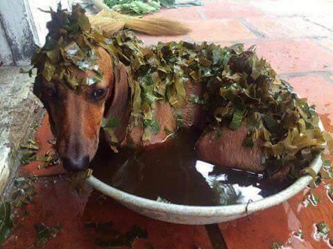 chữa ghẻ cho chó bằng lá ổi
