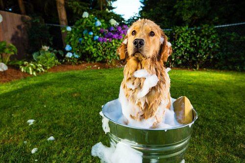 tắm không sạch khiến chó bốc mùi hôi