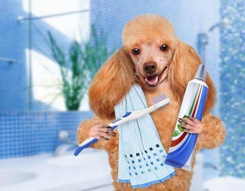 chải răng cho chó