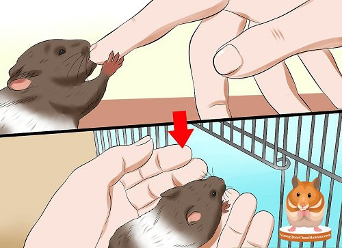 tại sao chuột hamster cắn