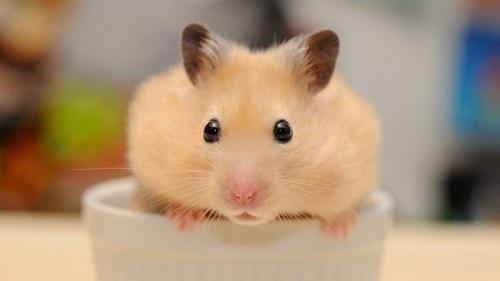 chuột hamster cắn