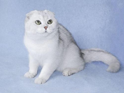 mèo tai cụp lông trắng