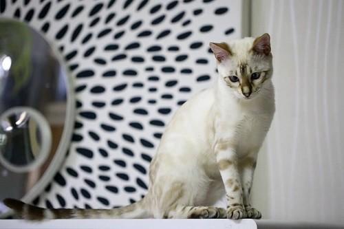 mèo bengal trắng