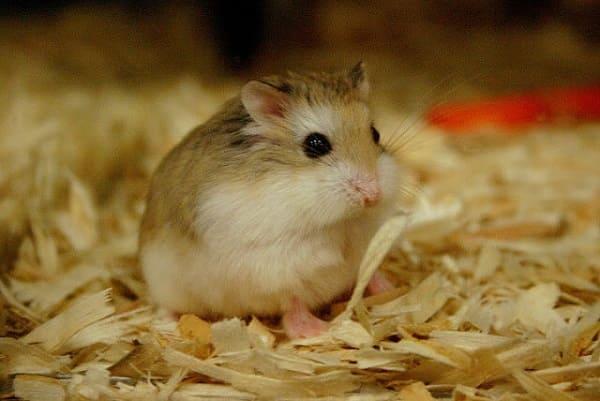 bệnh thường gặp ở hamster