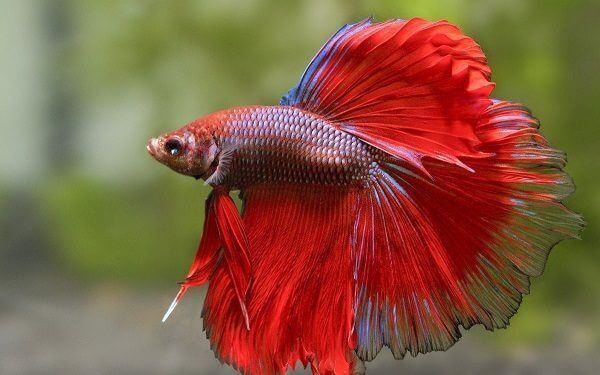 cá xiêm rồng đỏ