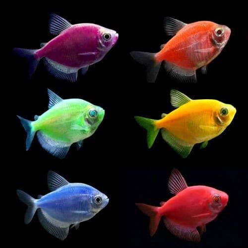 các loài cá buồm