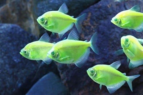 cá buồm xanh