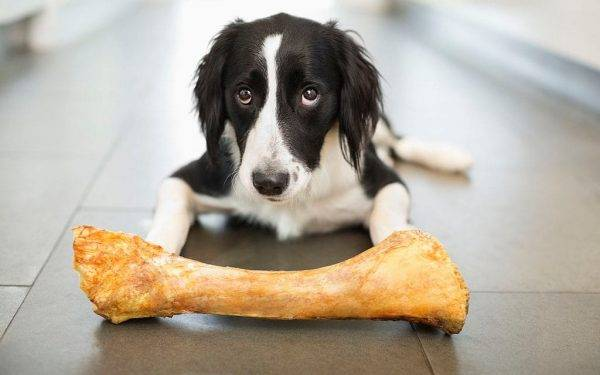 có nên cho cún gặm xương
