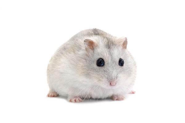 chuột winter white