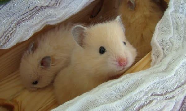 mua chuột hamster campell