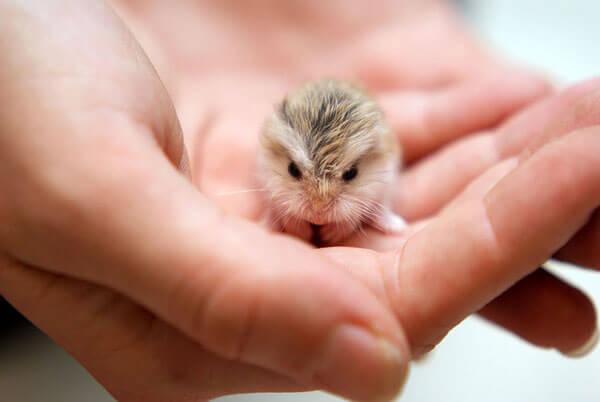 nơi bán chuột hamster winter white