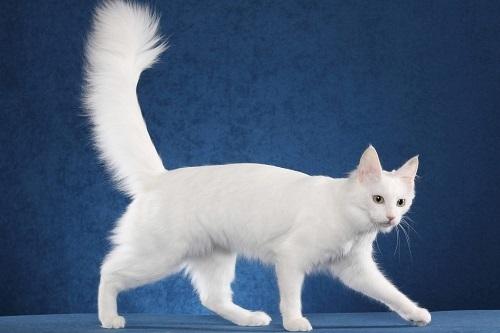mèo russisa