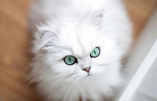 mèo pháp trắng