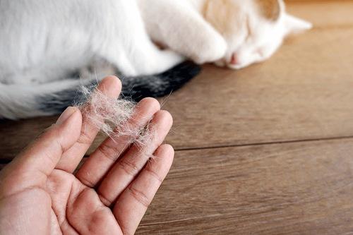 mèo rụng lông phải làm sao