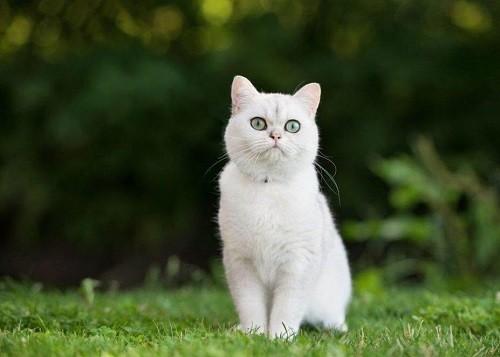 mèo ta trắng
