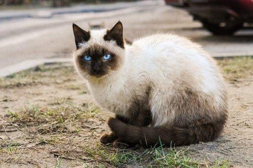 mèo trắng nguy cơ bị điếc