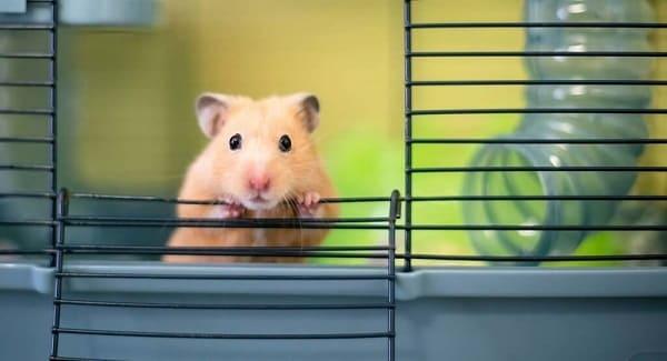 mua chuột hamter ở đâu