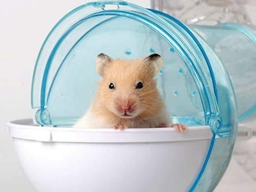 lý do phải tắm cho hamster