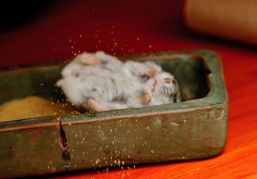 cát tắm chuột hamster