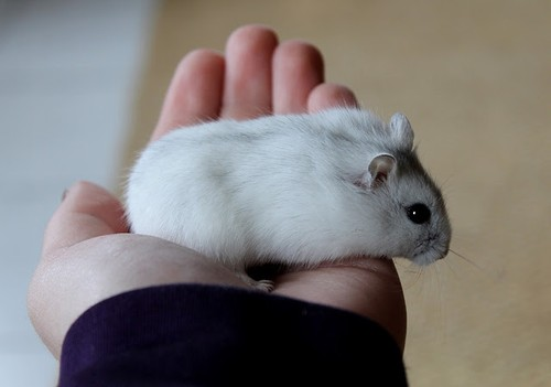 tập tính chuột hamster winter white sóc