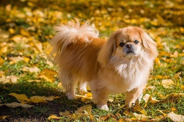 Chó Bắc Kinh