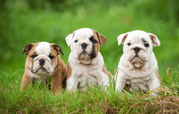 Bulldog Anh