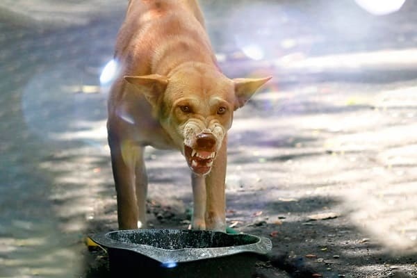 cún hung dữ