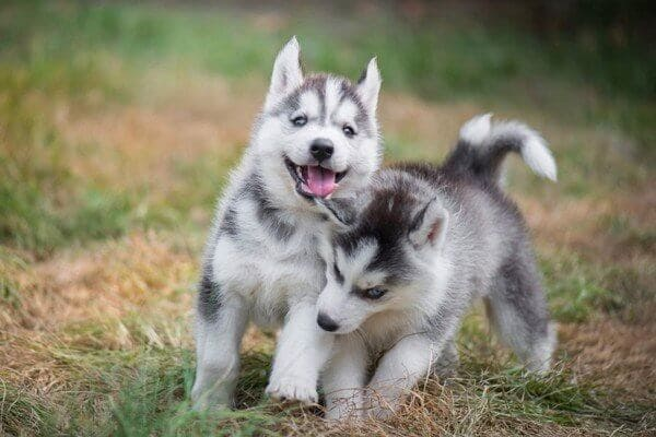 giá bán chó lalaska và husky