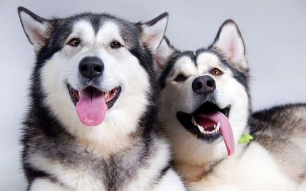 Chó husky và alaska