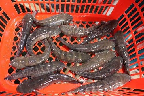 mua cá bống