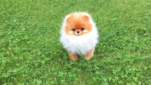 fox sóc lai nhật giá bán