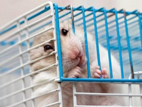 chuột cắn lồng